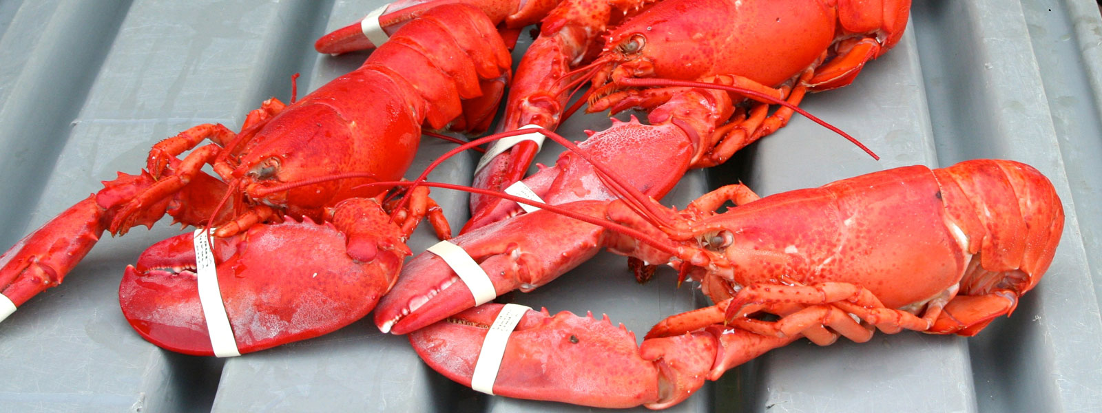 Maine Lobster Festival 2020.Maine Lobster Festival 73rd Annual Celebration Of All